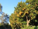 The valley is famous for orange and lemon trees