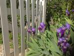 Irises by the front gate