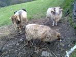 Animales de casa, cabras y ovejas enanas