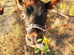 Meet Annabelle, our friendly dairy cow. She loves fruit...and flowers!