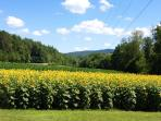 Sunflowers July 2014 in Blairsville