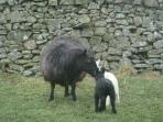 Proud mum of twins, newly lambed at Cossarshill Farm