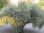 un des 50 oliviers