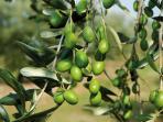 La campagna immersa negli olivi.