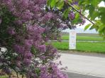Lilac trees frame Winery Directions-just around the corner!