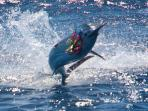 Big game fishing for marlin on the Solitary Coast
