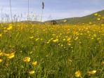 Buttercup fields below the Campsie Fells, Lennoxtown
