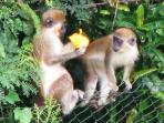 Watch the Monkeys feeding in our Tropical Gardens