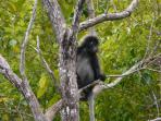 The Dusky Leaf Monkey is a resident of Langkawi