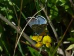 Portland is famous for rare flora and fauna on the coast path and here a Chalkhill Blue butterfly.