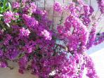 Flower  of bougainvillaeas