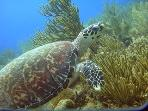 Turtle Sighting while Scuba Diving in Paamul