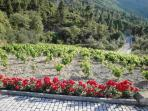 roses and vineyards