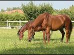 Padook cavalli