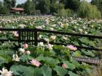 laghetto fiori di loto