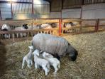 Pet sheep with her 4 lambs