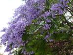 Blossom on the Jacaranda trees in June
