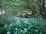 Smell, wild garlic in springtime in the woods around you.