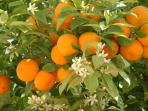 The orange tree on the front terrace smells beautiful when in bloom.