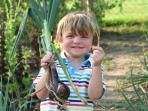 One happy young holidaymaker chooses the largest onion for his mum from our veggie patch!