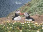 Puffins on Skomer island in June