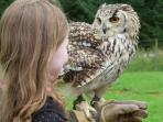 European Eagle Owl at the Falconry Centre, Huntly