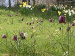 Cowslips and fritillaries on our haymeadow. Part of the garden at Kit Cottage