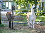 The Llamas waiting by the gate