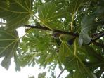 Figs in the garden