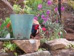 A pheasant visiting in the garden