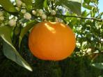 Three orange trees