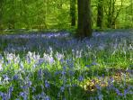 APRIL/MAY BLUEBELL GLORIOUS TIME IN THE CHILTERNS