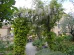 Wisteria overhanging the Pathway in the Villa garden....taken in April.