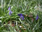 Bluebells - the local flower