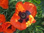 Poppies in the garden - a theme carried on throughout the Forge.