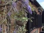 Wisteria on front of Forge