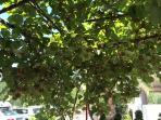 kiwi tree in the garden