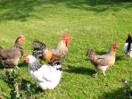 The Cotmore chickens range far and wide, to bring you fresh eggs for breakfast