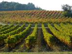 Local vines