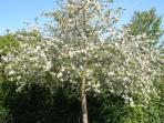 Apple blossom time....there are cherries, figs and all kinds of herbs too....help yourself!