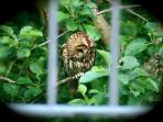 Tawny Owl in the  Orchard