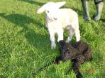 Lambs born at Easter time