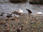 The locals in the River Inny!