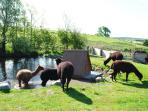 Alpacas in the paddock  having a paddle can be seen from the barn