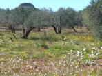 An Olive grove near the village in Spring