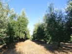 Villa Caprera. The olive grove