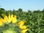 ....and sunflower fields