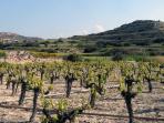 Pissouri Vineyards