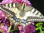 A Swallowtail butterfly, frequent in summer