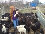 Sorting through the farm's lambs in the springtime.
